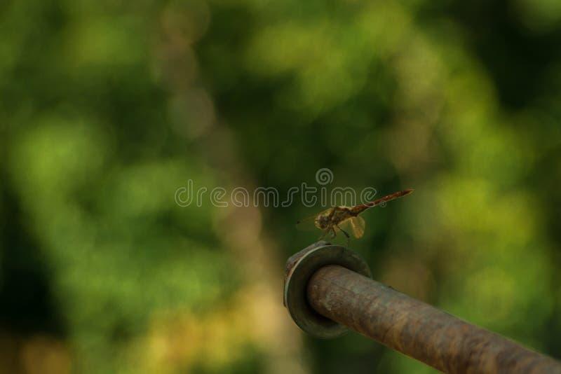 Graue Libelle sitzt auf einem schön unscharfen grünen Hintergrund Gr?nes Blatt mit einem gro?en Wassertropfen das Porträt des Ins lizenzfreies stockfoto