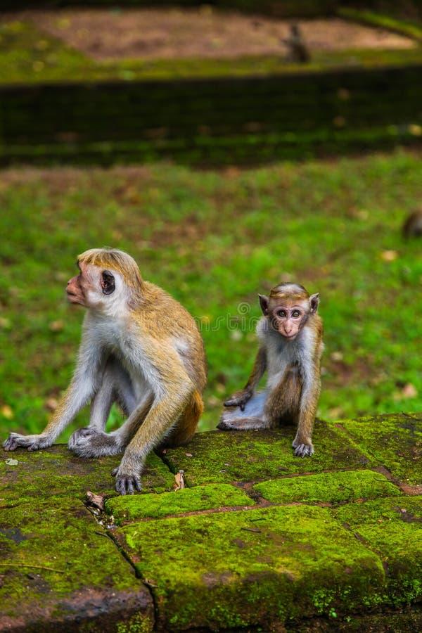 Graue Makakenmutter und -baby, die auf Moos bedeckten Ruinen sitzt lizenzfreies stockfoto