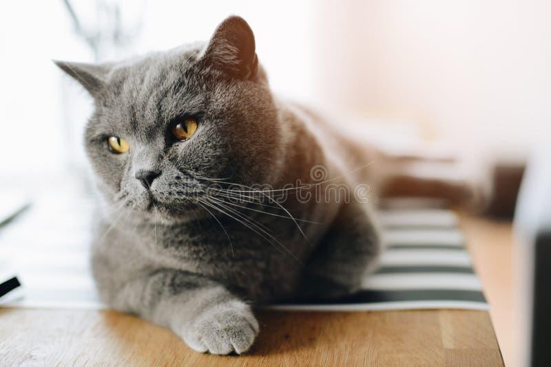Graue Schönheit britische shorthair Katze lizenzfreies stockbild