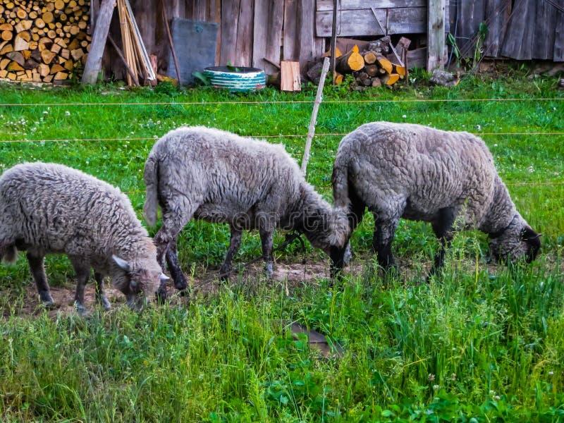 Graue Schafe lassen in einer Wiese im Dorf weiden stockbild