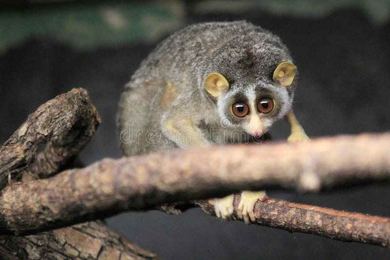 Graue schlanke loris stockbilder