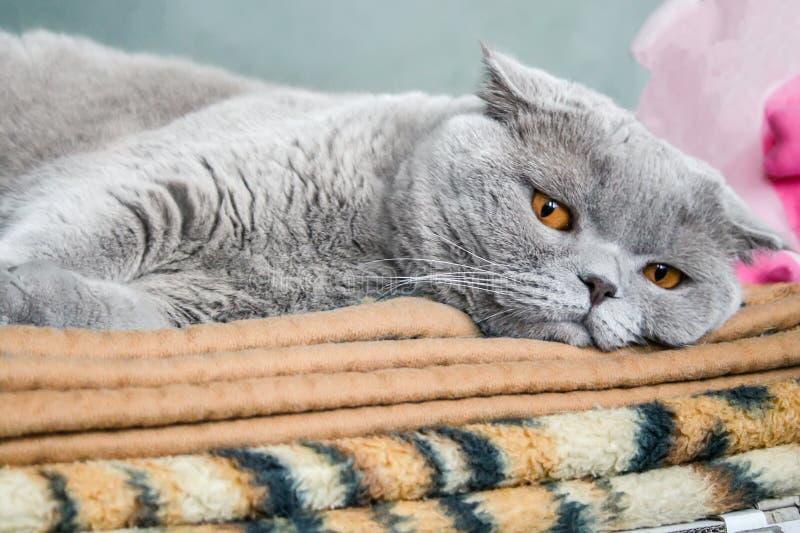 Graue schottische Faltenkatze mit orange Augen liegt auf einem braunen Plaid lizenzfreies stockbild
