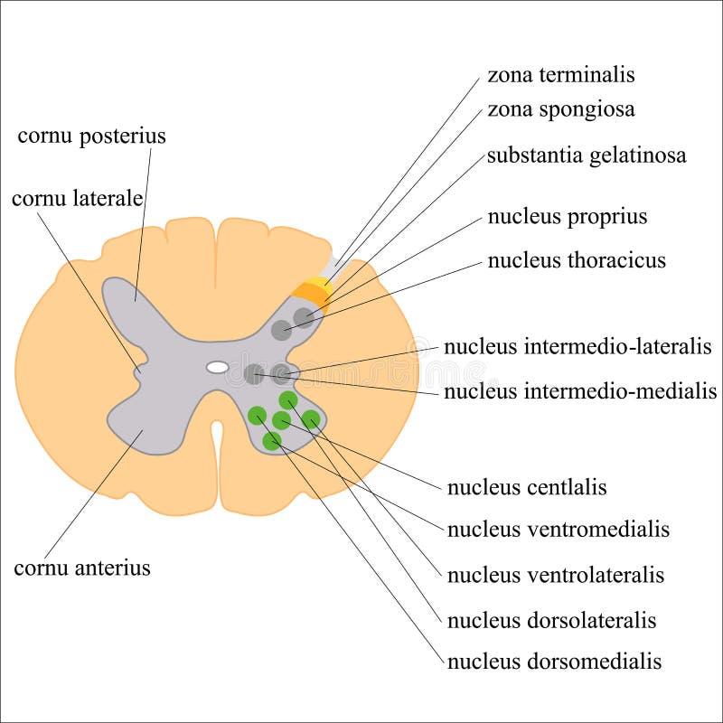Graue Substanz Des Rückenmarks Und Seines Kernes Vektor Abbildung ...