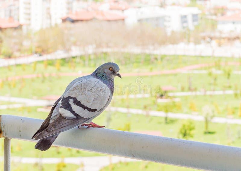 Graue Taube, die den Park vom Balkon aufpasst lizenzfreies stockbild