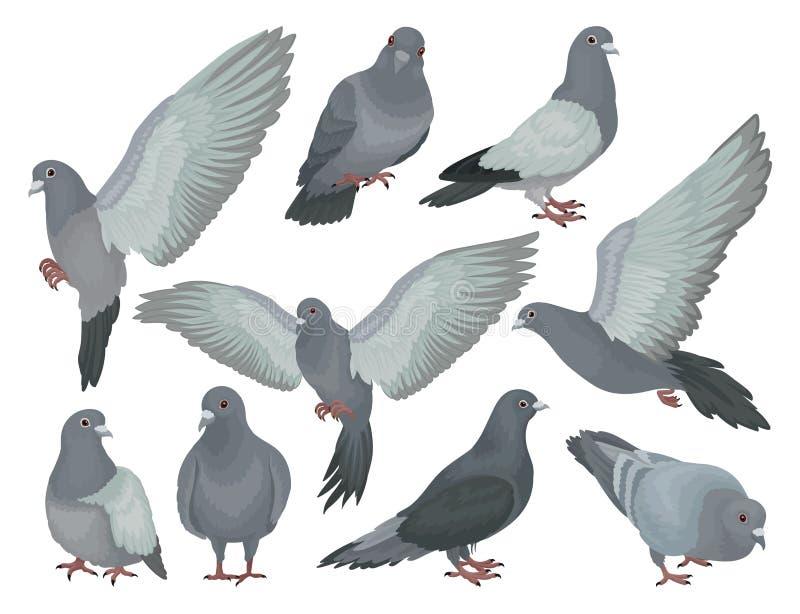 Graue Tauben stellten, Tauben in verschiedenen Haltungsvektor Illustrationen auf einem weißen Hintergrund ein lizenzfreie abbildung