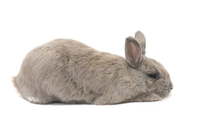 Graue und traurige Lügen des dekorativen Kaninchens im Profil lokalisiert auf weißem Hintergrund stockfoto
