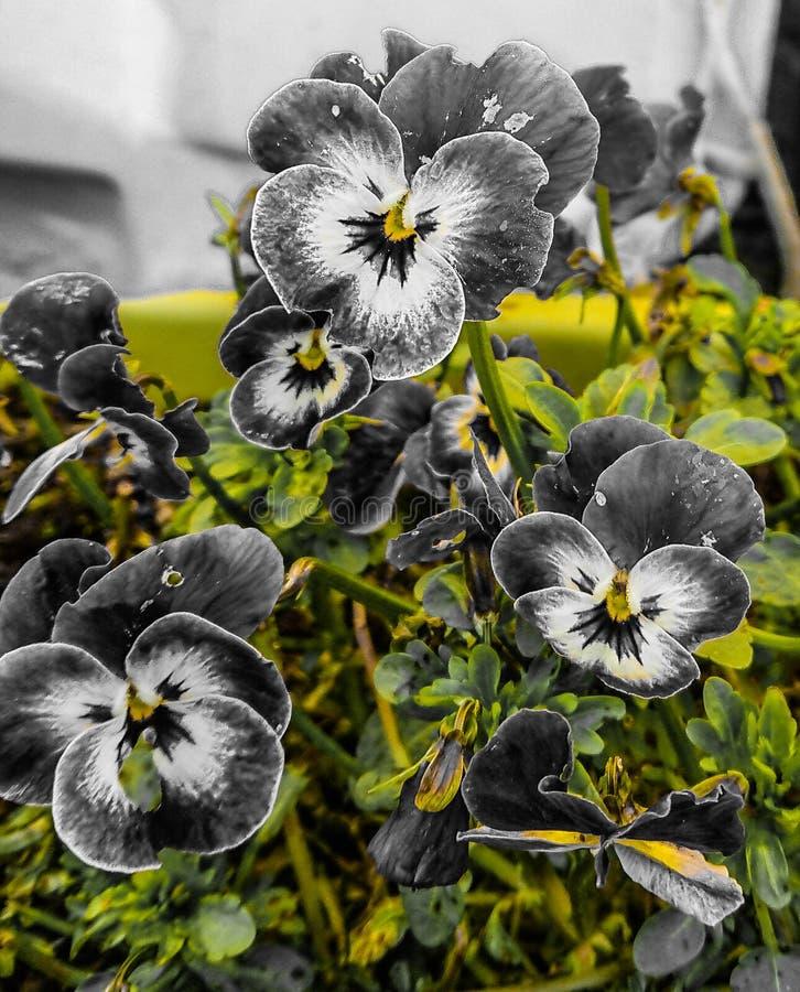 Graue und weiße Pansies stockfotografie