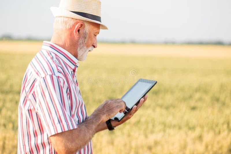Grauer behaarter Agronom oder Landwirt, der eine Tablette auf dem Weizengebiet verwendet lizenzfreie stockbilder