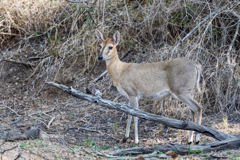Grauer Duiker in Nationalpark Kruger lizenzfreie stockfotos