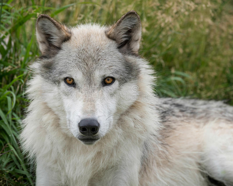 Grauer entspannender Wolf lizenzfreie stockfotos