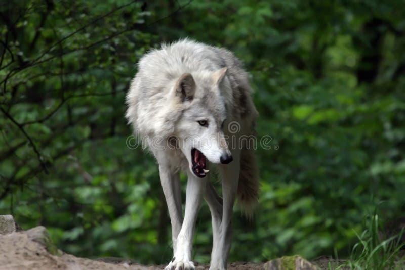 Grauer gähnender Wolf lizenzfreie stockfotos