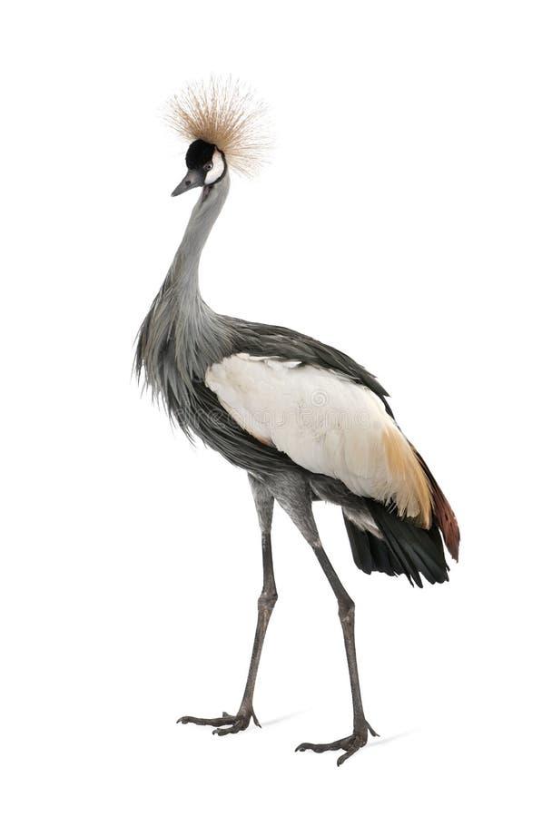 Grauer gekrönter Kran - Balearica regulorum (18 Monat lizenzfreies stockbild