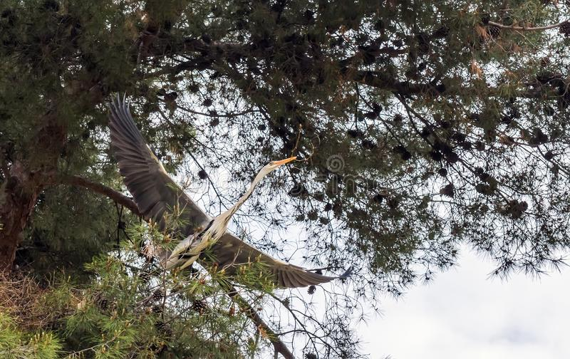 Grauer heronGrey Reiher Ardea cinerea mit dem Zweig für das Nestspinnen stockbilder