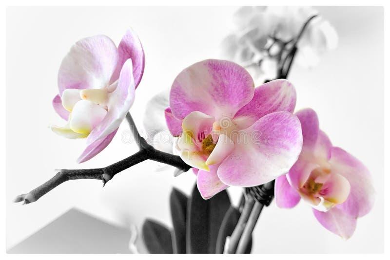 Grauer Hintergrundblumenstrauß der Rosaorchidee stockfotos