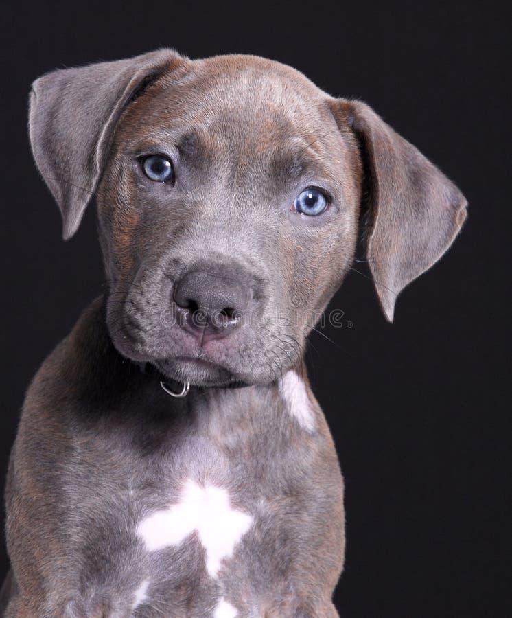 Grauer Hund stockbilder