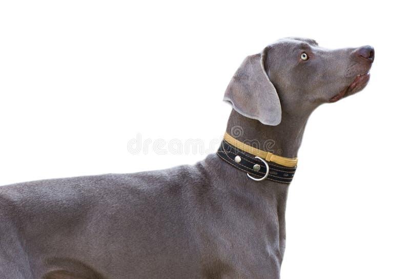 Grauer Hund getrennt auf Weiß stockbild