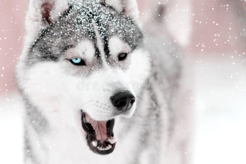 Grauer Hundeschlittenhund, der etwas mit offenem Freien des Munds sagt Schnee f stockfotografie