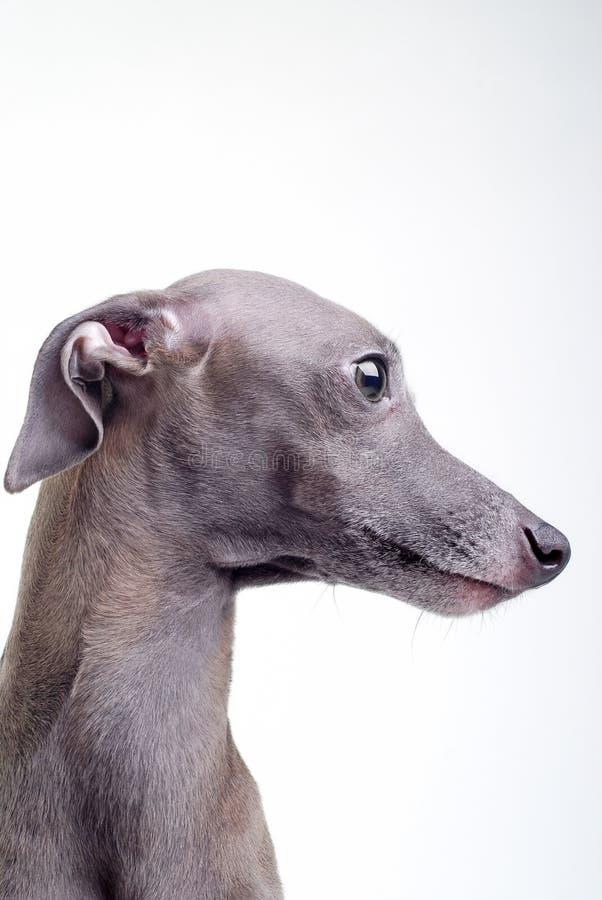 Grauer italienischer Windhund lizenzfreie stockbilder