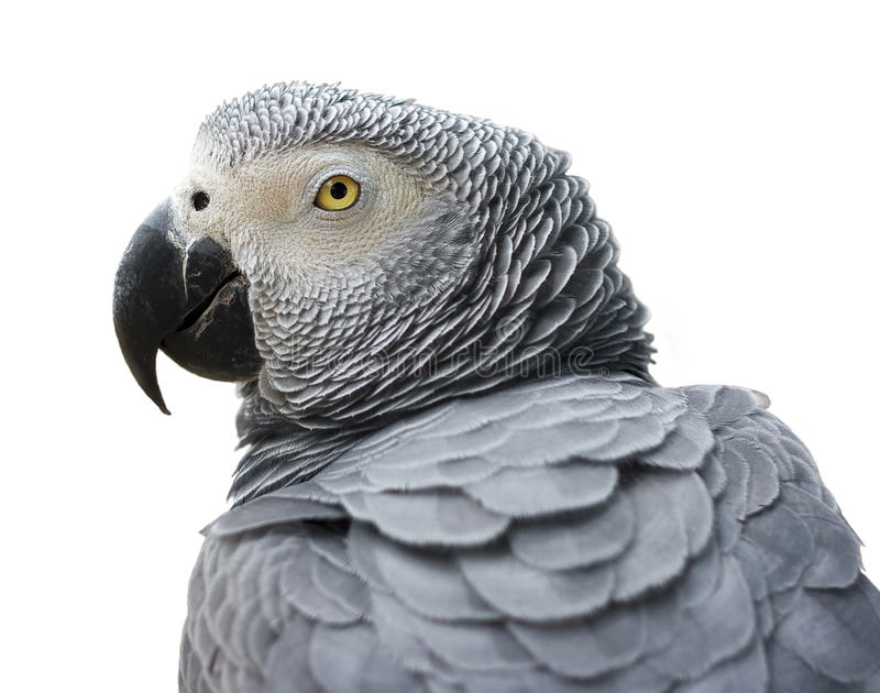 Grauer Papagei lizenzfreies stockfoto