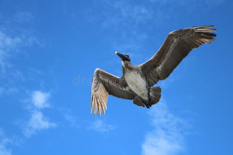 Grauer Pelikan lizenzfreie stockbilder