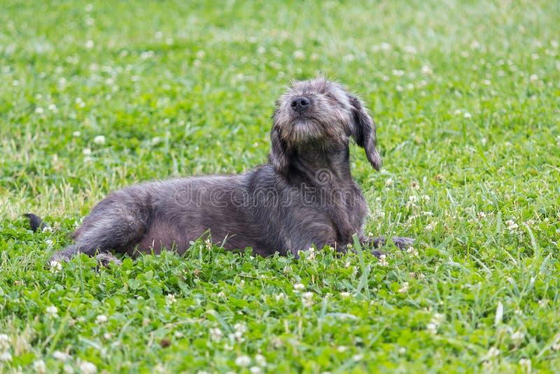 Grauer rauhaariger Hund, der auf dem Gras liegt stockbilder