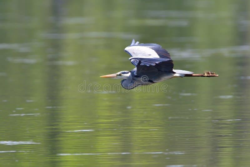 Download Grauer Reiher stockfoto. Bild von wild, saxon, flügel - 96932092