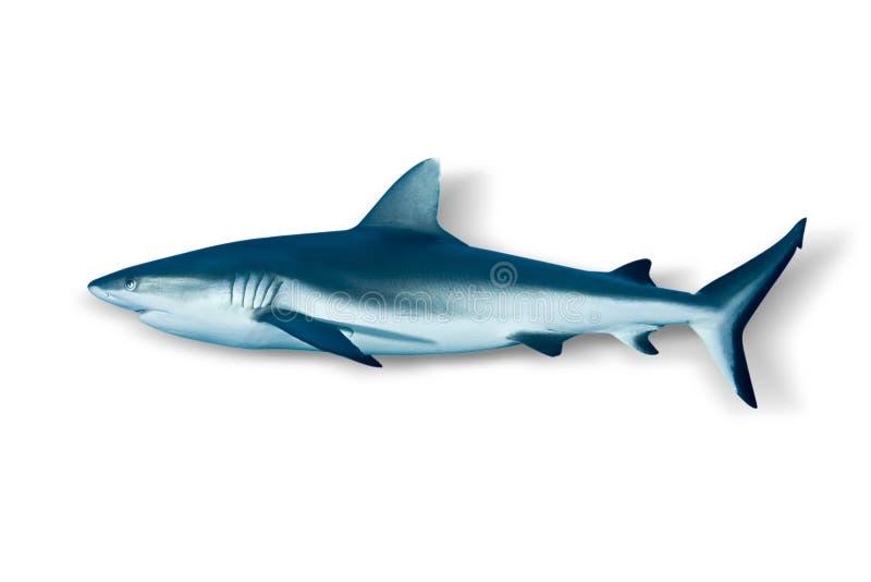 Grauer Riff-Haifisch getrennt auf weißem Hintergrund lizenzfreie stockfotografie