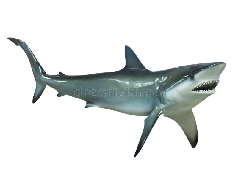 Grauer Riffhaifisch, lokalisiert lizenzfreies stockbild