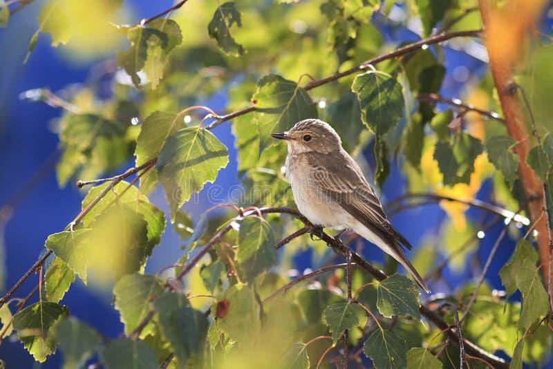 grauer Vogel, der unter dem goldenen Herbstlaub der Birke auf blauem Himmel des Hintergrundes sitzt lizenzfreies stockbild