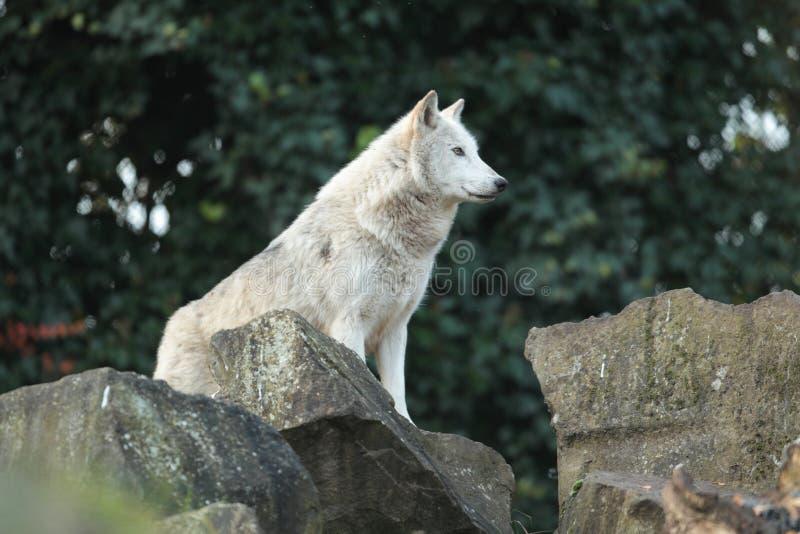 Grauer Wolf. stockfotografie