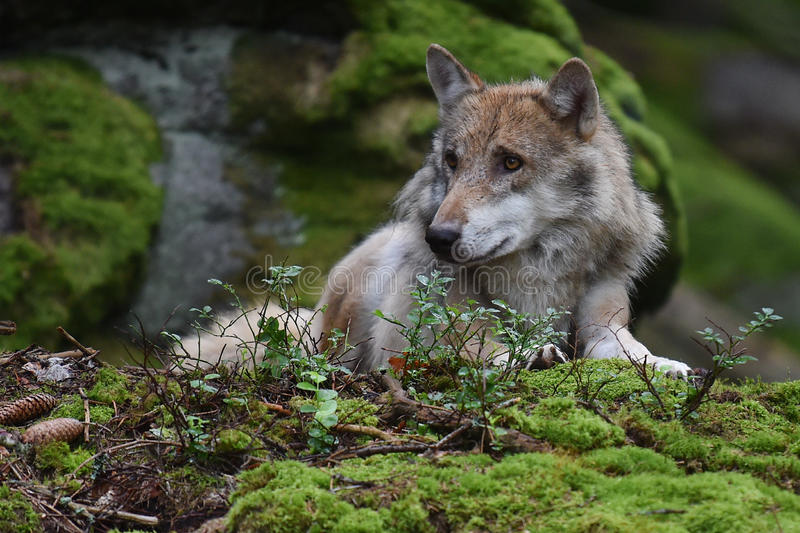 Grauer Wolf stockfoto