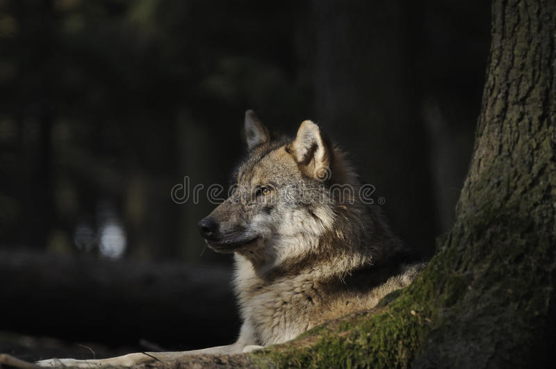 Grauer Wolf (Canis Lupus) lizenzfreie stockbilder