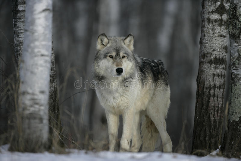 Grauer Wolf, Canis Lupus stockbilder