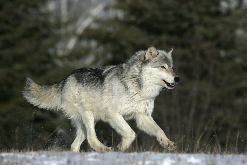 Grauer Wolf, Canis Lupus lizenzfreie stockbilder