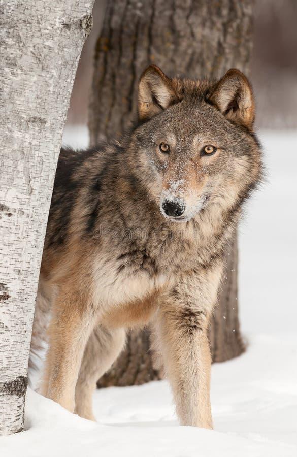 Grauer Wolf (Canis Lupus) blickt um Birken-Baum stockfotografie