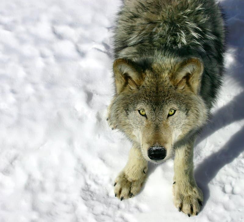 Grauer Wolf, der oben Ihnen betrachtet lizenzfreies stockfoto