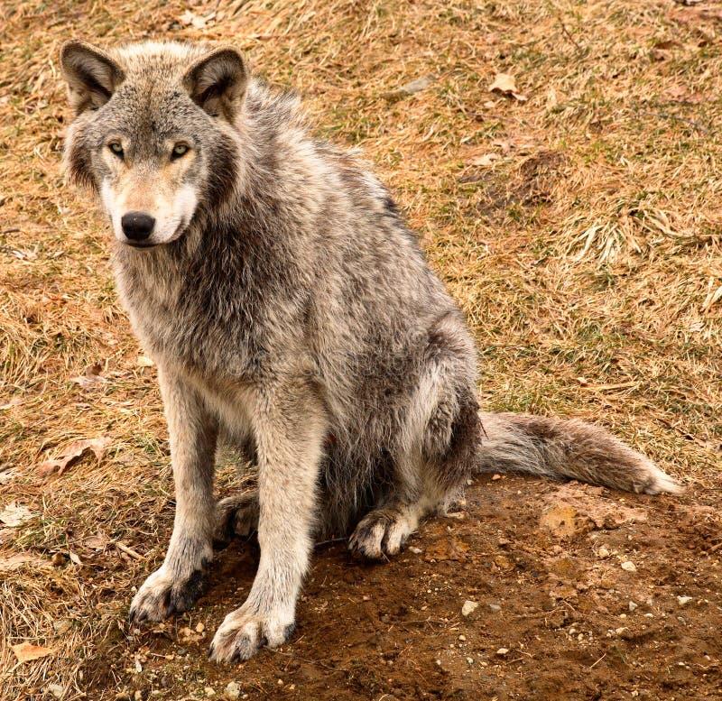 Grauer Wolf, der Sie betrachtet lizenzfreies stockfoto