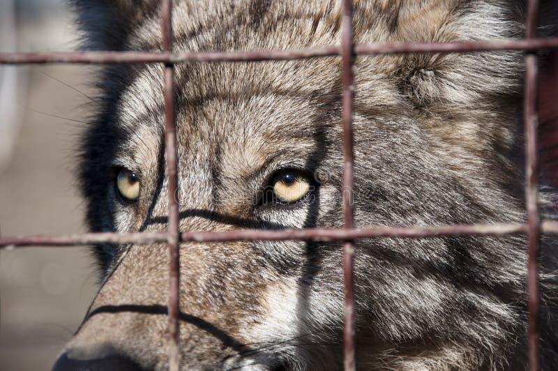 Grauer Wolf hinter Drahtgeflecht stockfotos