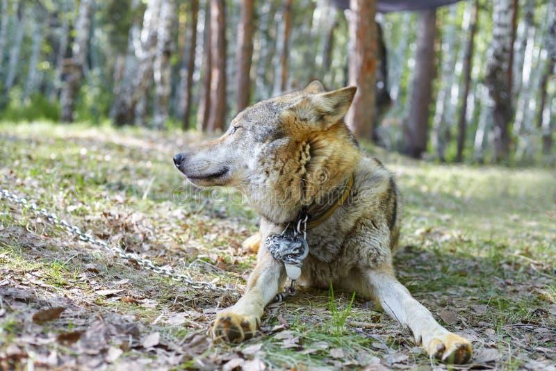 Grauer Wolf im Park lizenzfreie stockfotos