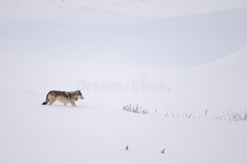 Grauer Wolf im Schnee lizenzfreies stockfoto
