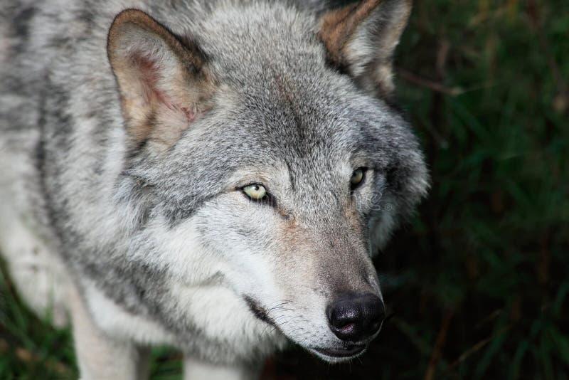 Grauer Wolf-Nahaufnahme stockfotos
