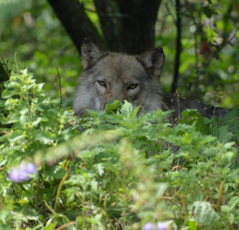 Grauer Wolf oder grauer Wolf Canis lupu stockbild