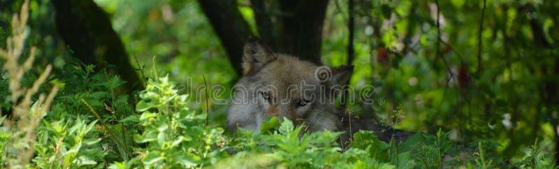 Grauer Wolf oder grauer Wolf Canis lupu stockfotografie