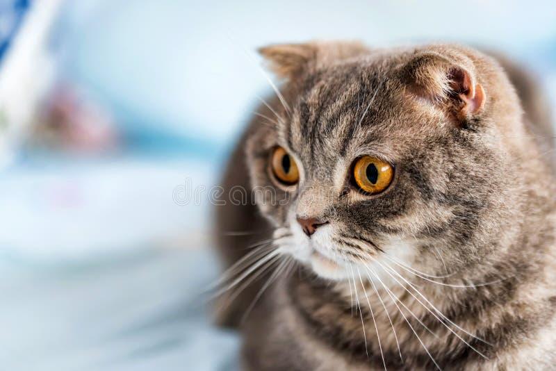Graues britisches shorthair Katzenporträt lizenzfreies stockfoto
