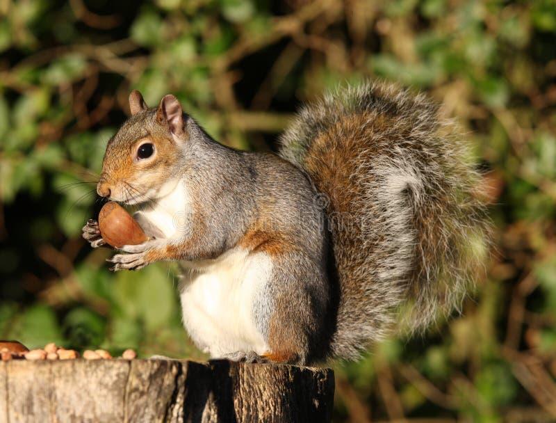 Download Graues Eichhörnchen stockbild. Bild von augen, baum, grau - 27727135