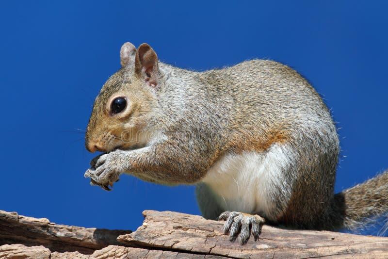 Graues Eichhörnchen auf einem Protokoll stockbilder