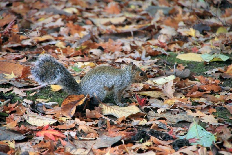 Graues Eichhörnchen auf gefallenen Blättern lizenzfreies stockfoto