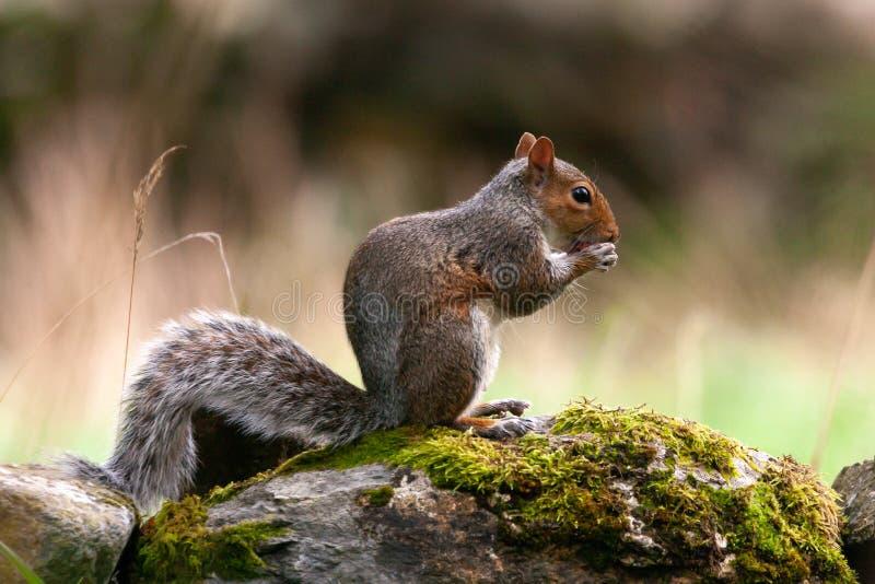 Graues Eichhörnchen auf Wand eine Nuss essend lizenzfreie stockfotos