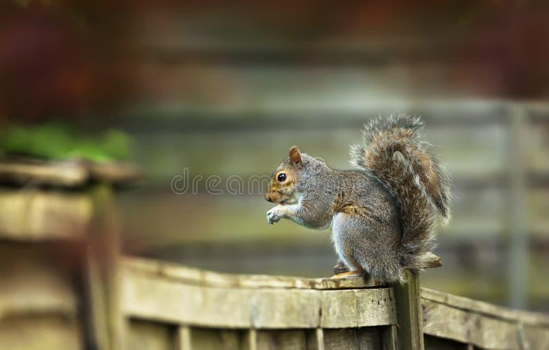 Graues Eichhörnchen, das auf einem Bretterzaun sitzt und Nuss isst lizenzfreie stockbilder