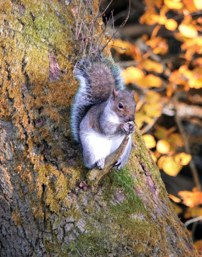 Graues Eichhörnchen hockte auf einer Niederlassung auf einem Baumstamm im Spätholz stockfotografie